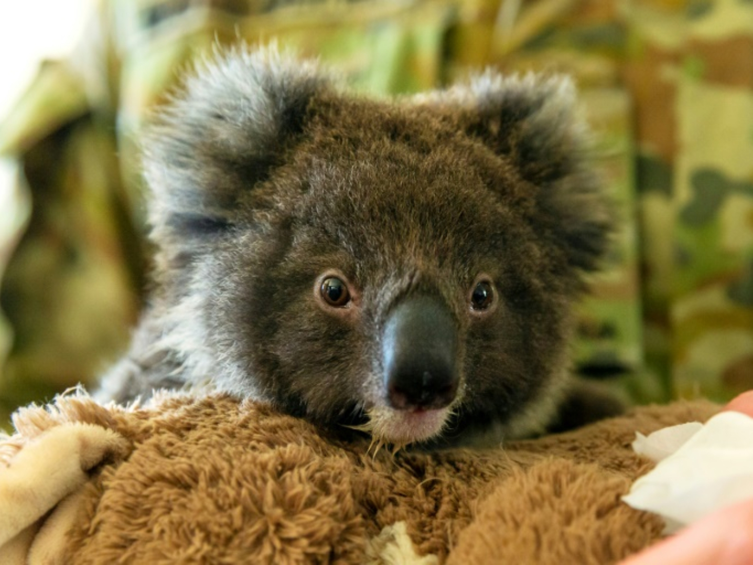 Australia launches investigation after dozens of koalas found dead in land-clearing