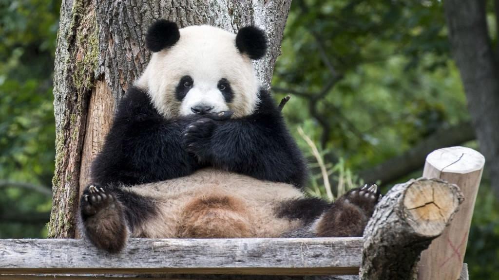 Sichuan guarantees food supply for overseas pandas amid epidemic