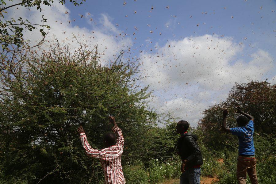 E. African countries suffer worst locust infestation in decades: UN