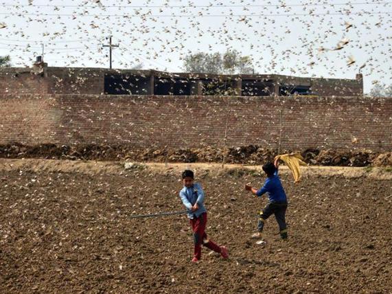 In pics: locusts swarming in eastern Pakistan's Punjab province
