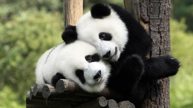 Giant pandas to inspire patients amid virus outbreak