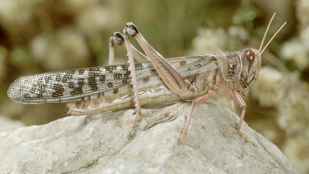 UN calls for greater global effort in tackling locust invasion