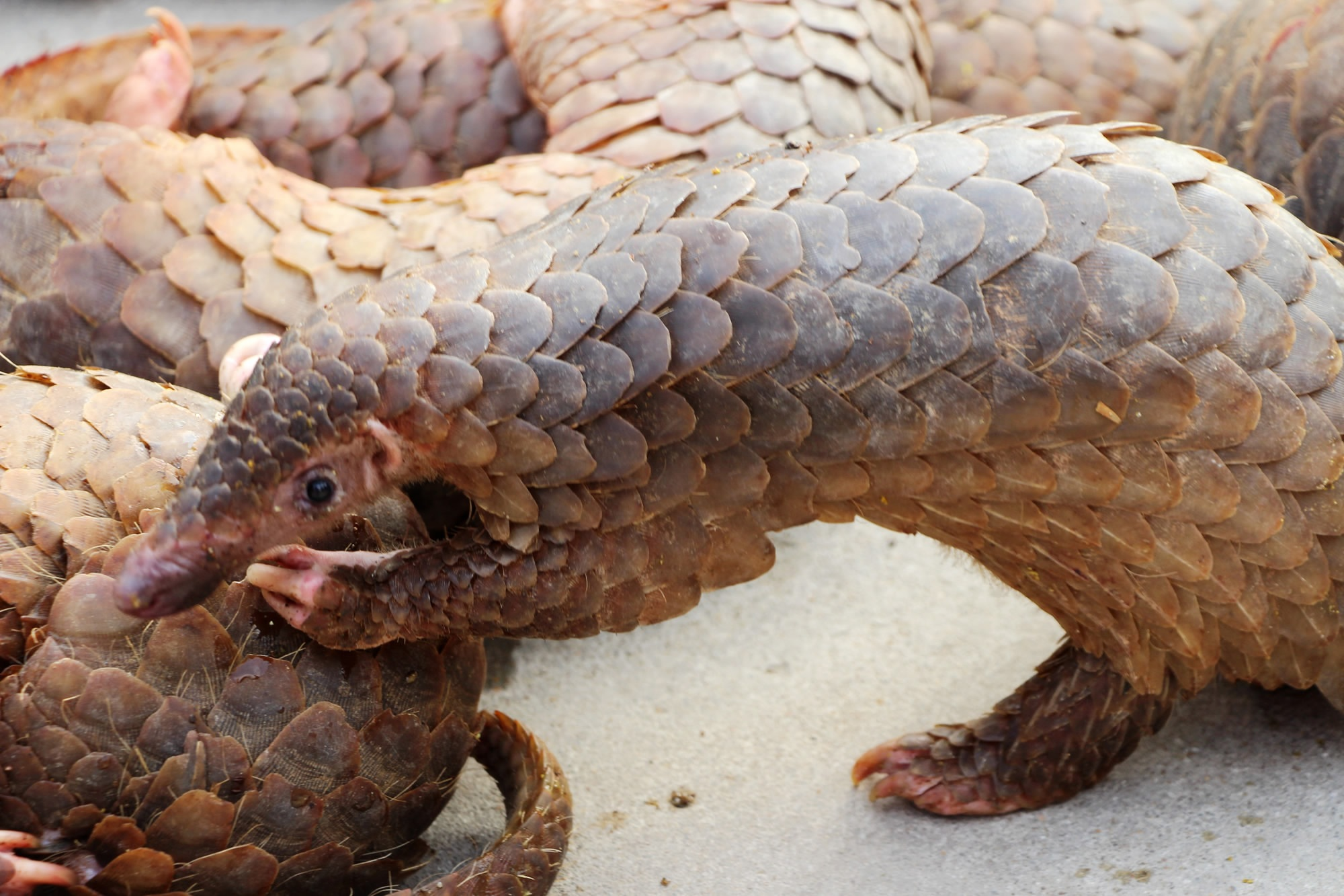 Nearly 900,000 pangolins trafficked in Southeast Asia: watchdog