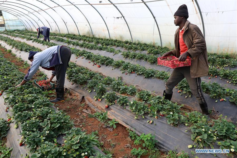 Workers harvest strawberries in farm in Algeria