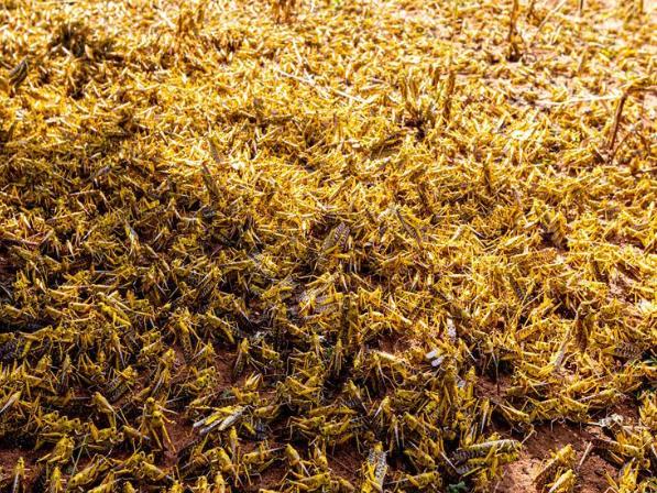 Desert locust upsurge in Kitui County, Kenya