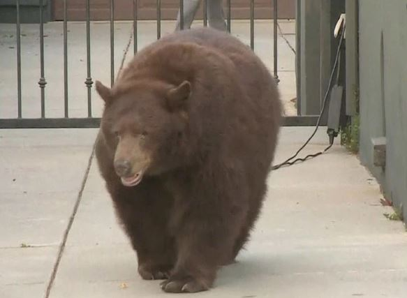 Bear stirs commotion wandering Los Angeles foothill suburb