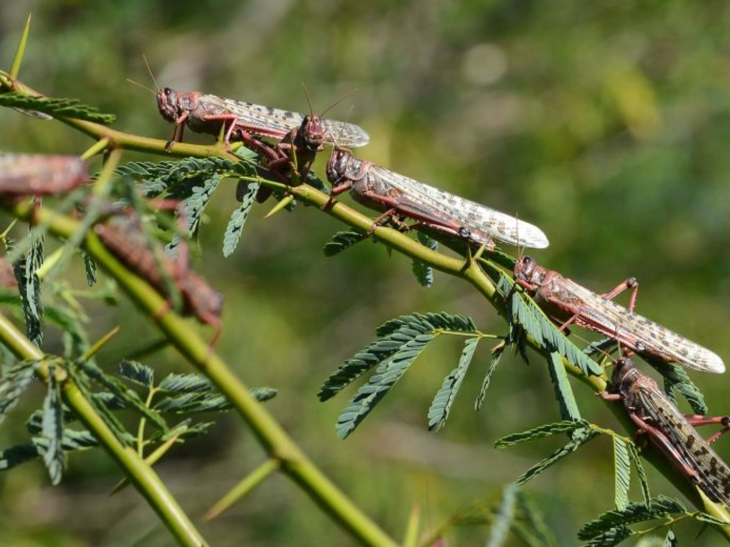Dreadful swarm of 'Desert Locust' leaves back huge crops loss in India