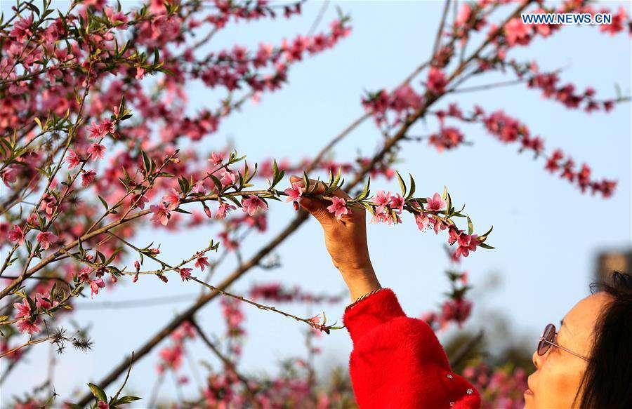 In pics: flowering cherry blossoms in Kathmandu, Nepal
