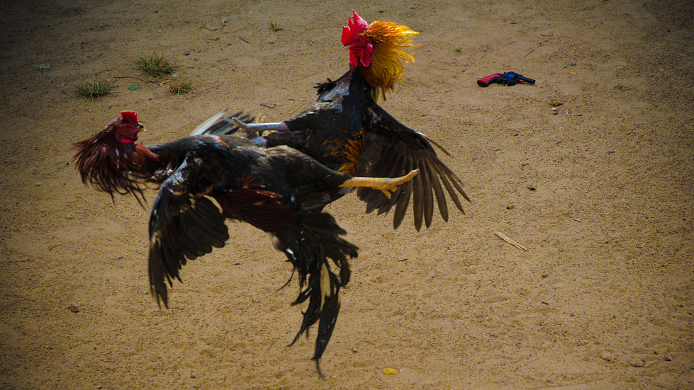 Peru's top court rejects bid to ban cock, bull fighting