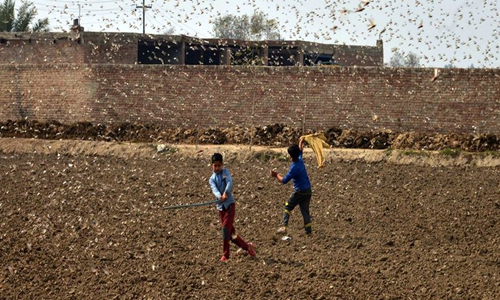 Chinese experts mull using duck legion to help Pakistan wipe out locust plague