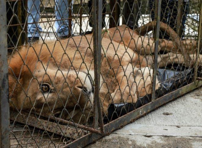 jupiter lion (afp).jpg