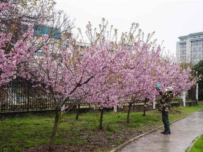 Cherry blossoms seen at Wuhan University, Hubei