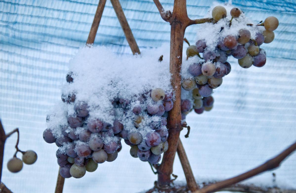 Succession of warm winters nixes special German wine