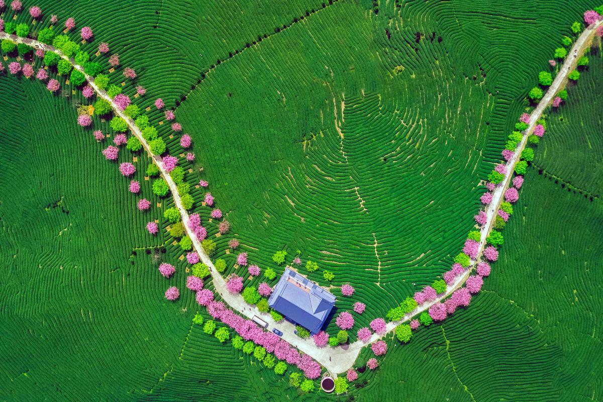 Enjoy a bird's-eye view of cherry blossoms online
