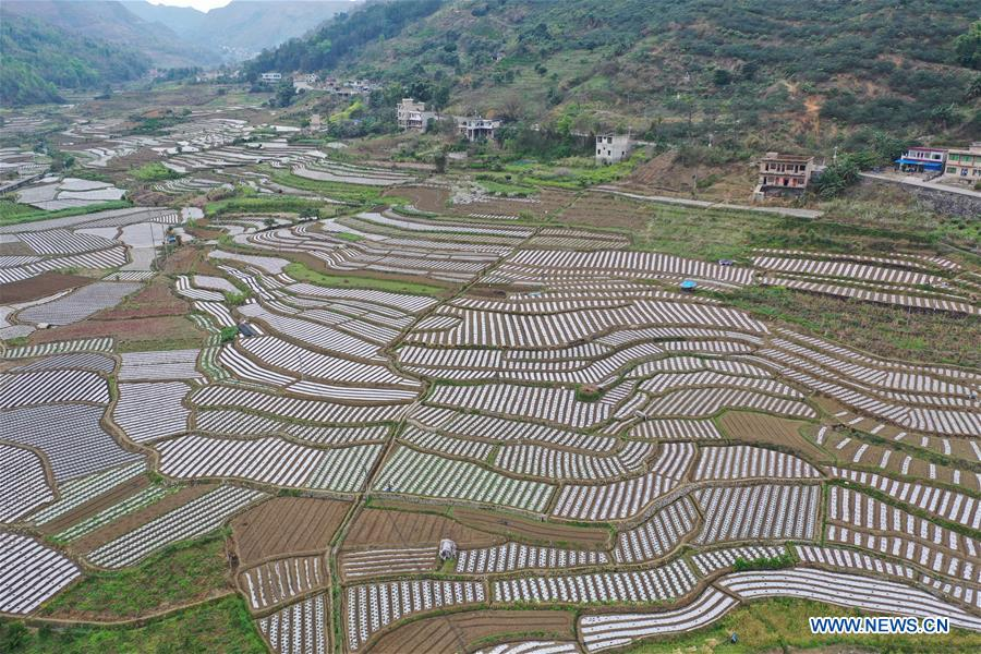 Farmers busy in planting vegetables as weather turns warm in Guizhou