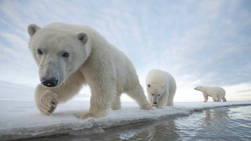 Researchers: Tool used to detect polar bear dens ineffective