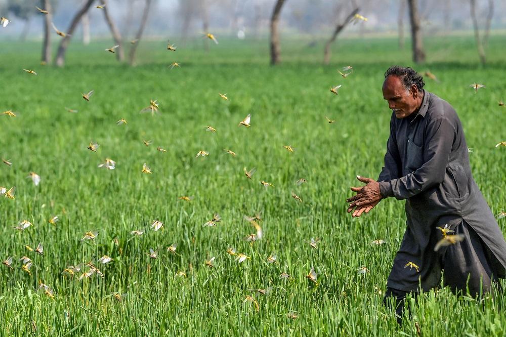 Pakistan struggles to combat locust plague