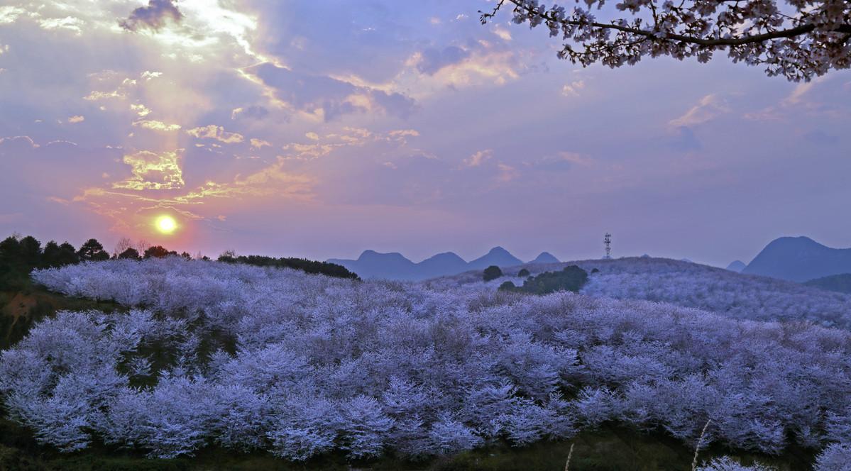 Cherry blossoms burst in Guizhou province
