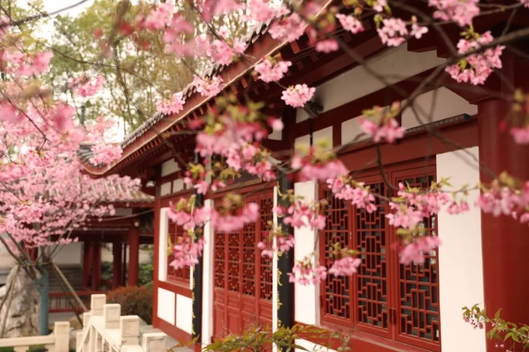 Cherry blossoms in Wuhan's famous scenic area symbolize spring