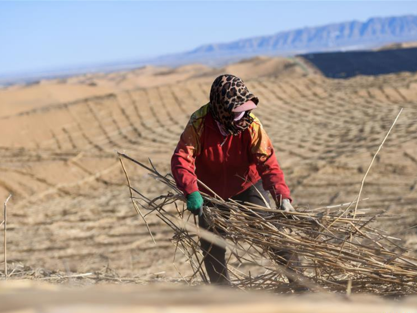 People resume work to pave sand barriers to prevent desertification in Kubuqi desert
