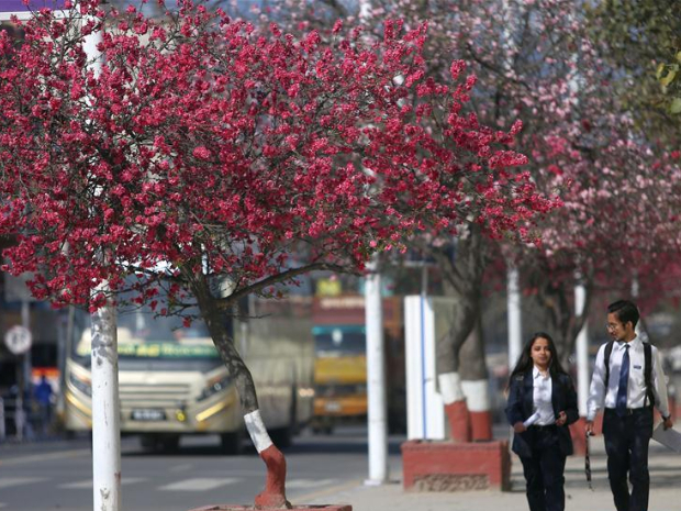 Cherry blossoms in Kathmandu, Nepal