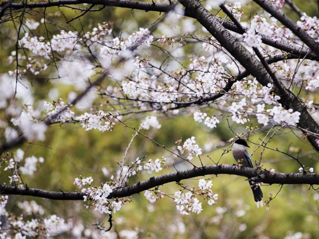 Wuhan U organizes ten-day live broadcast in campus to show cherry blossoms