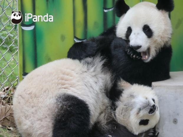 Panda livestreaming keeps global fans close amid coronavirus outbreak