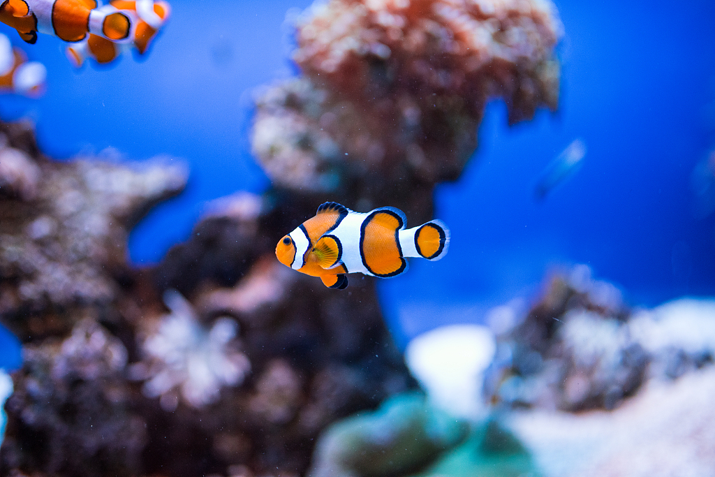Two hormones drive anemonefish fathering, aggression: study