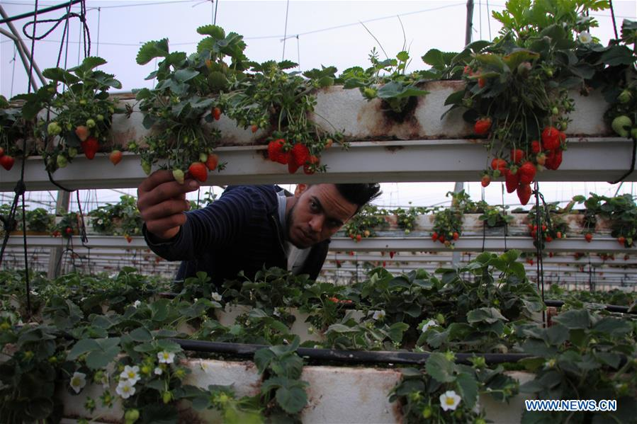 Palestinian farmers harvest strawberries in greenhouse in northern Gaza Strip