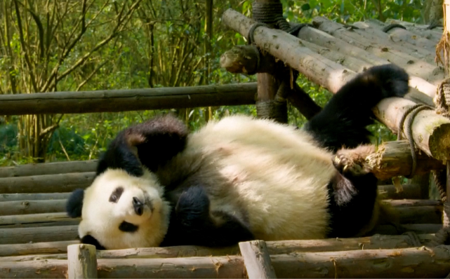 Top panda bases reopen to public in SW China