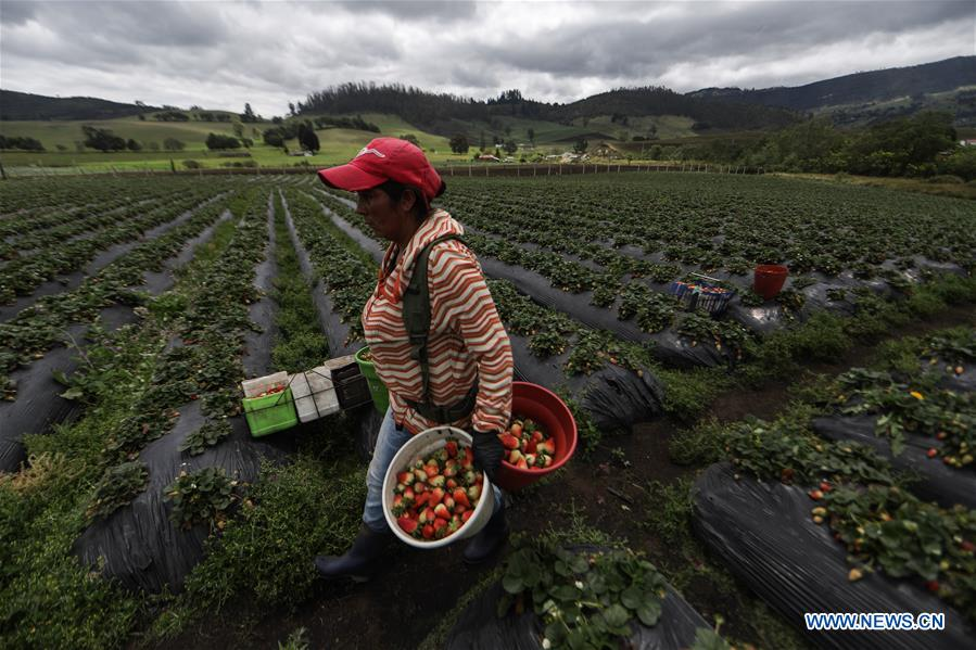 Farmer picks strawberries in Cundinamarca, Colombia
