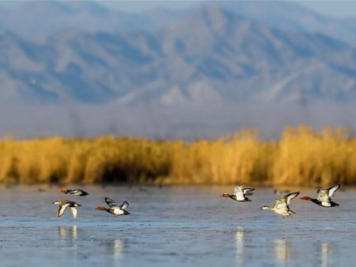 In pics: migrant birds at Ulansuhai Nur wetland