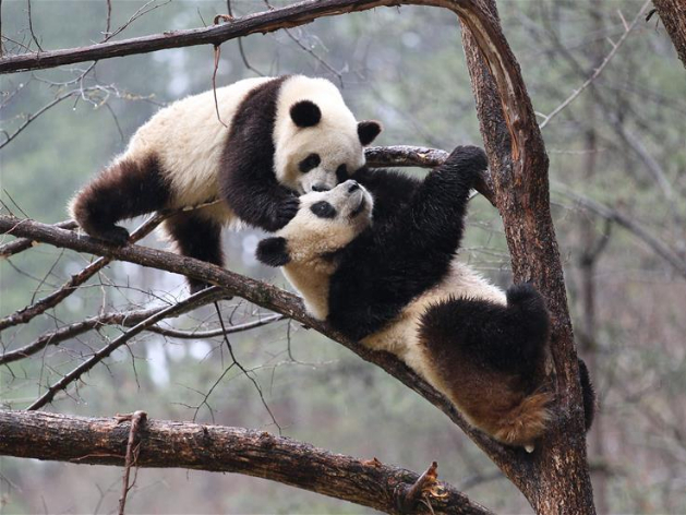 "Giant pandas ""Lulu"" and ""Xiaoxin"" frolic on tree at Foping Nature Reserve, Shaanxi"