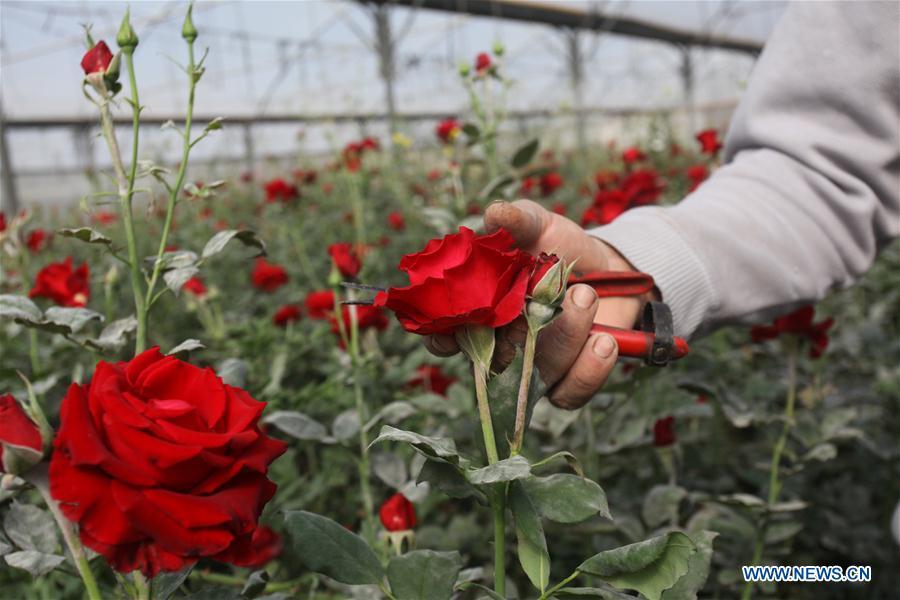 Palestinian farmer picks flowers at flower nursery in Biet Dajan village
