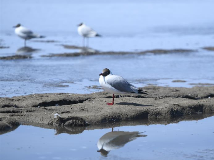 Brown-headed gulls rest at Qinghai Lake