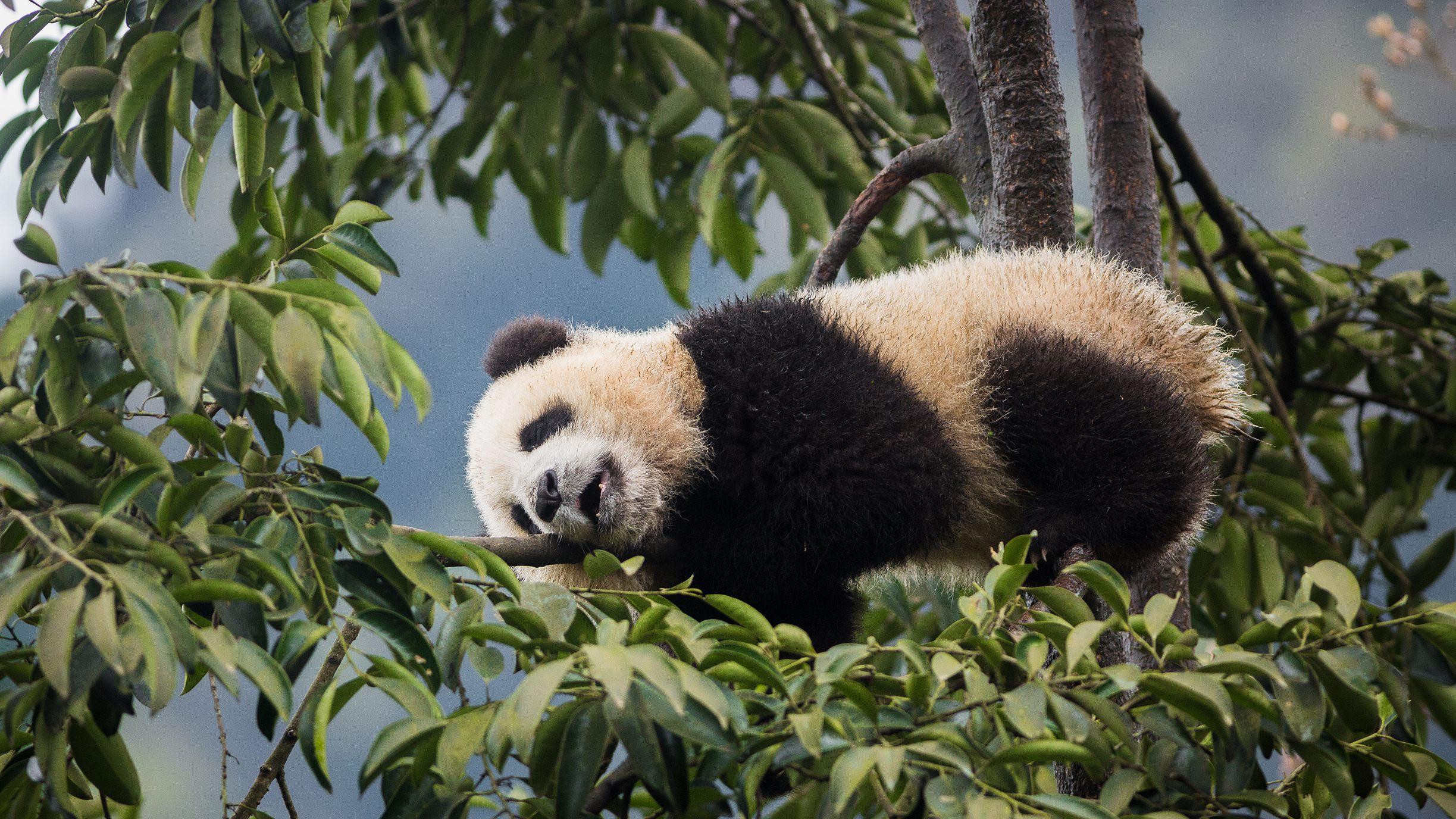 Wild giant pandas spotted in SW China