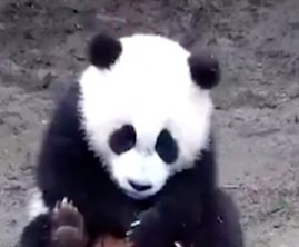 Local panda protection base blamed over a cub's death