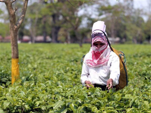 Worker pick tea leaves at Jamira Tea Garden in India's Assam