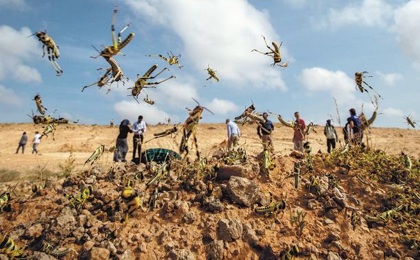 E. Africa fights against locusts despite curbs