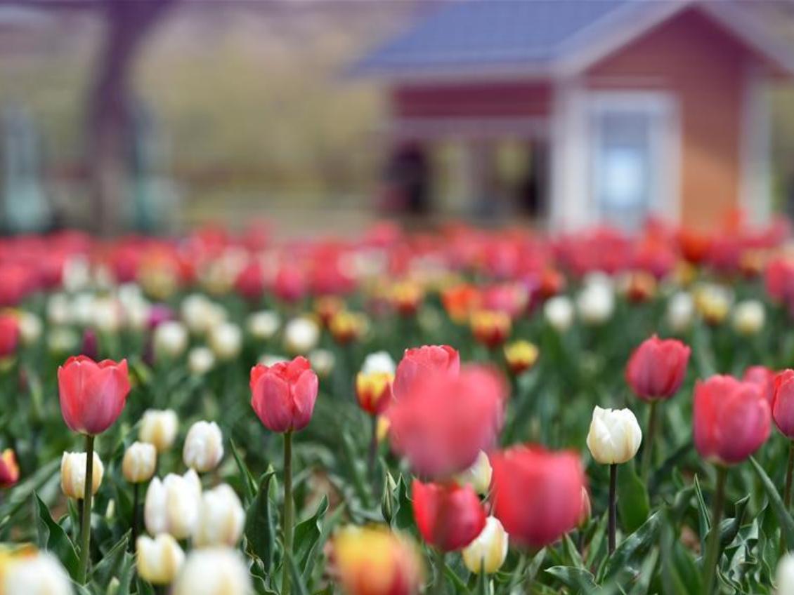Scenery of tulips along Yellow River in Yongjing, Gansu