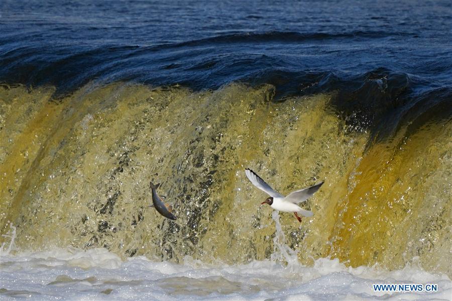 Fish jump over waterfall of River Venta in Kuldiga, Latvia