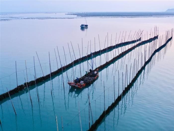 Kelp enters harvest season in Xiapu, Fujian