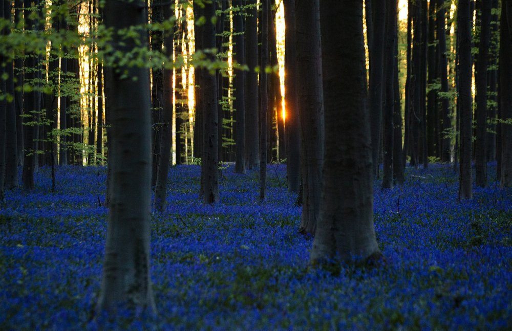 Belgian bluebells are too beautiful to see during pandemic