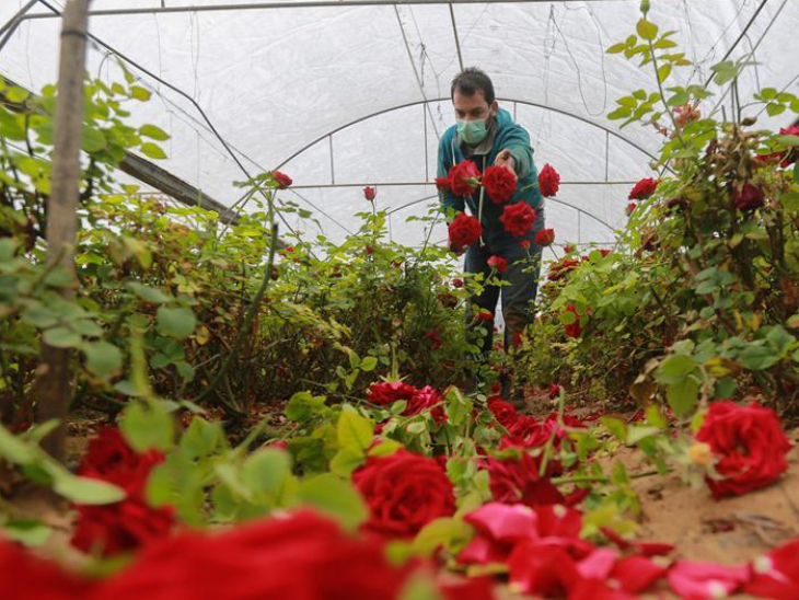 Palestinian farmer wearing protective mask works in greenhouse in Rafah