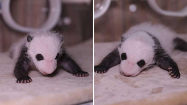 Panda twins get names inspired by local Chinese snacks