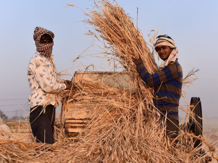 Farmers harvest wheat in India