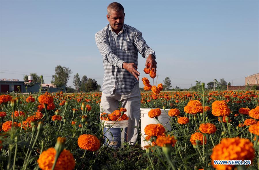 Farmer plucks marigold flowers in field of Jammu