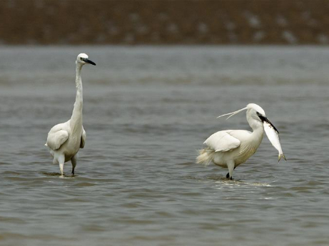 Egrets forage at estuary wetland of Minjiang River in Fuzhou