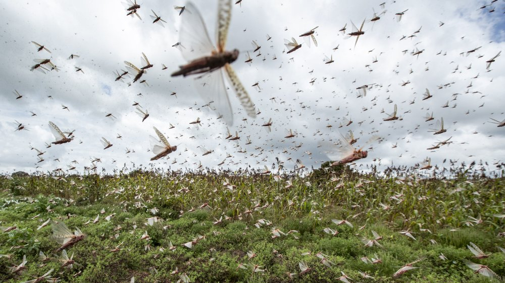 UN ramps up efforts to curb spread of desert locust in Somalia