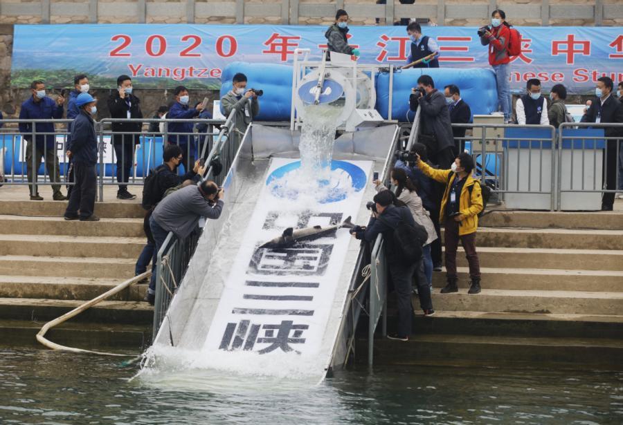 10,000 Chinese sturgeons released into Yangtze Rive